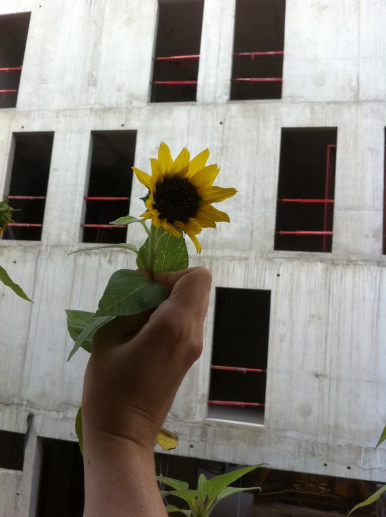 Eines der drei Sonnenblümchen in meinem Blumenkasten.